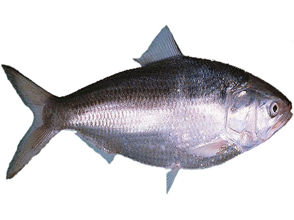 Hilsa/Ilish (Whole fish size 500-800 Grams)