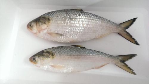 Hilsa/Ilish (Whole fish size 1100-1250 Grams) Curry Cut