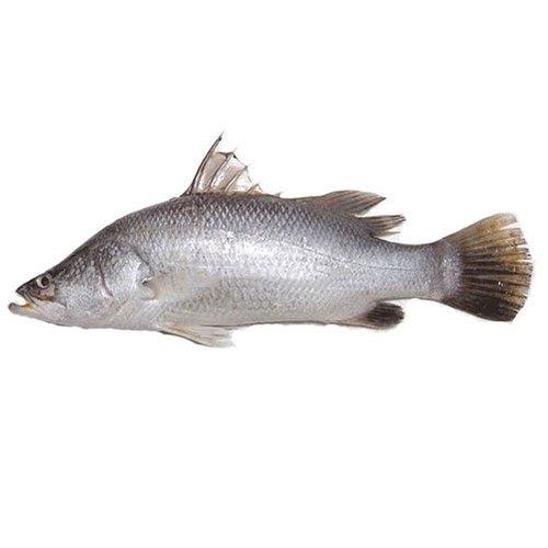 Bhetki Fish Curry Cut (With Head)